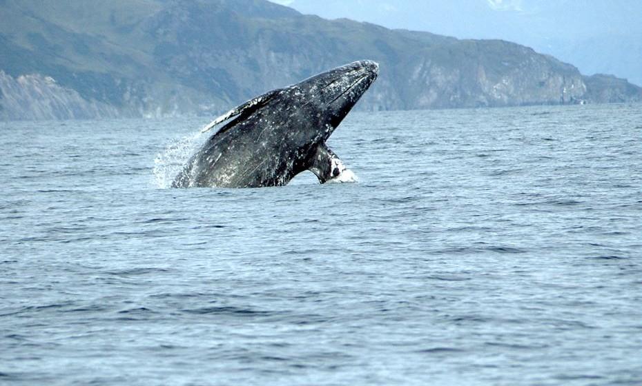 Baleias cinzentas - Baja Califórnia, México. Estas baleias cinzentas e brancas gostam de visitar o México no inverno e na primavera, entre janeiro e abril. Na Lagoa San Ignacio, o espetáculo é ainda mais especial porque aí acasalam e dão à luz.