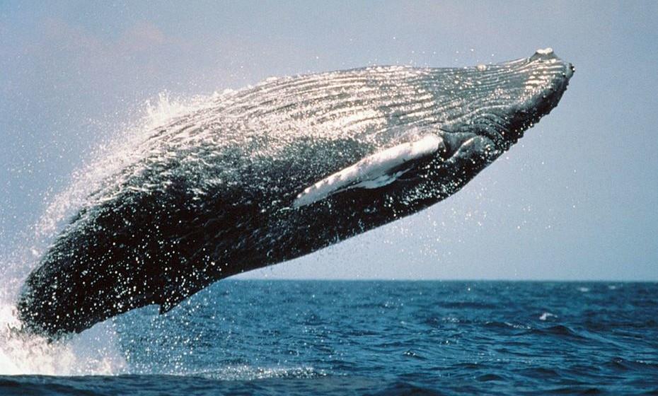 Baleias Jubarte: Hervey Bay, Austrália. Também conhecida como baleia corcunda, alimenta-se unicamente no verão e vive da sua gordura no inverno. De julho a outubro, nadam por estas águas à procura de alimento.