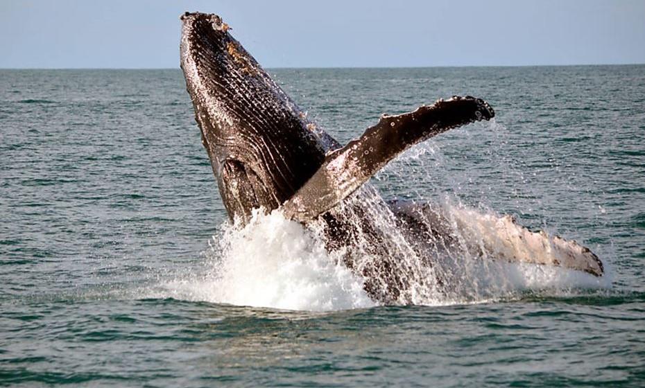 Baleia-franca-austral - Hermanus, África do Sul. Para a CNN; este é um dos melhores lugares para avistar baleias no mundo. A temperatura da água e as várias baías existentes fazem deste local o ideal para acasalamento e nascimento de baleias. Chegam em maio e vão-se embora em novembro.