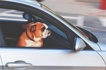 O que fazer se encontrar um cão fechado num carro ao sol?