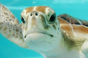 Tartarugas podem ter a chave para tratar doenças cardíacas nos humanos