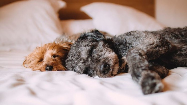 Devem os cães dormir no quarto dos donos? Estudo diz que depende
