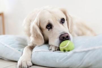 Os cães são mais expressivos quando alguém está a olhar