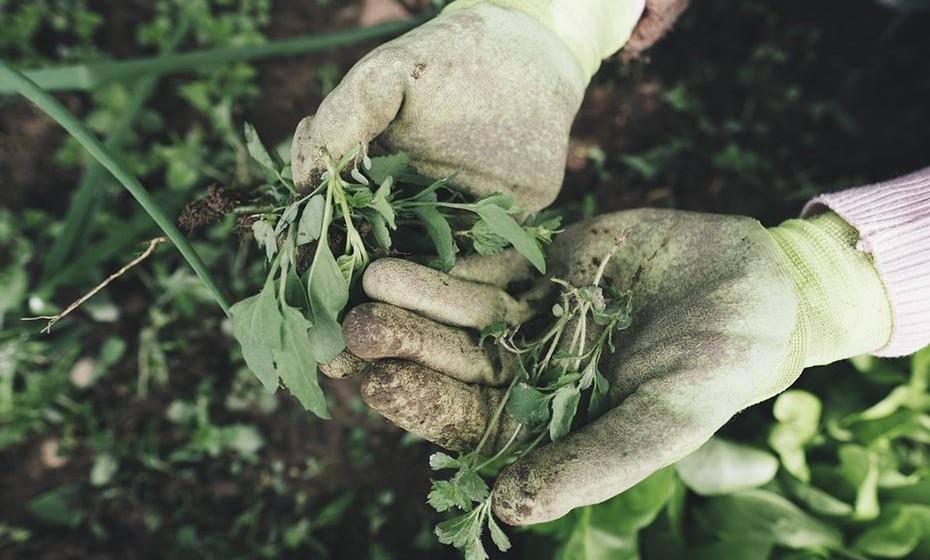 Pode apanhar as urtigas com a ajuda de umas luvas ou pode comprar a planta já processada e pronta para uso, claro que se a apanhar sai mais barato e tem outra qualidade.