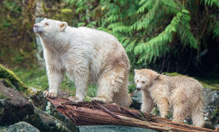A Great Bear Rainforest do Canadá é a maior floresta tropical intacta do mundo - e uma das mais mágicas, com espécies como lobos marinhos e ursos. Uma excursão de nove dias a bordo de um veleiro vai mostrar-lhe as maravilhas desta terra.