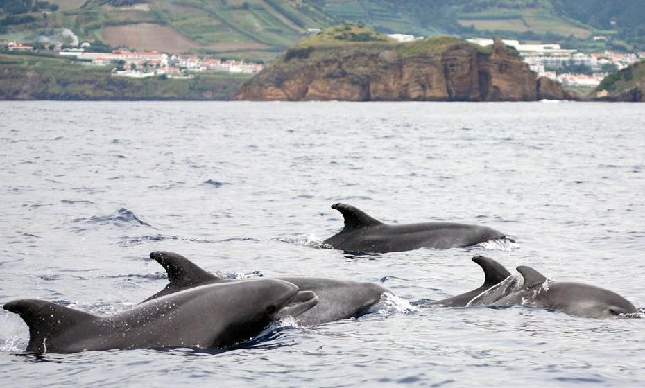 Nadar com golfinhos selvagens nos Açores é outra das experiências de vida a não perder. O arquipélago incrivelmente cénico é o refúgio perfeito para os aventureiros, permitindo que os viajantes façam canyoning em paredes de penhascos íngremes, parapente sobre vinhedos e nadem com golfinhos migratórios e nativos. E a paisagem, como sabemos, é extenuante.