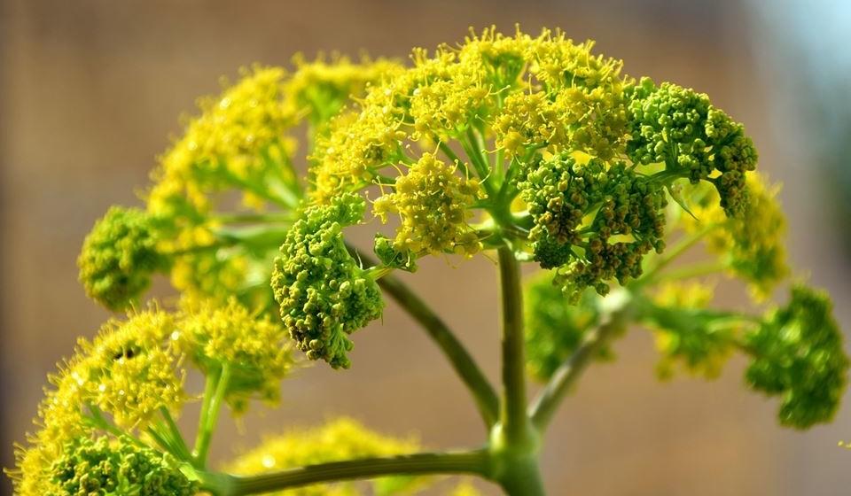 Funcho ou erva-doce – É um ótimo expetorante e muito útil em toses e bronquites.