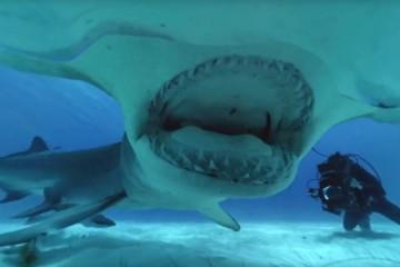 Mergulhar com um tubarão-baleia? Vai ser possível, no Sea Life Porto