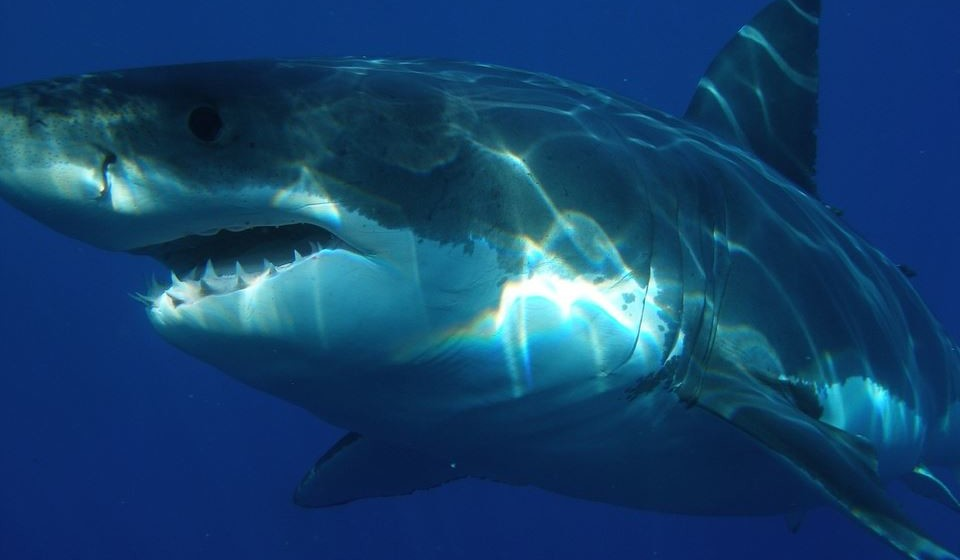 Como afugentar um tubarão – Obviamente que é bem mais complicado do que isto. Mas caso lhe surja um à frente, é bom saber quais as suas zonas sensíveis para poder ripostar: nariz, olhos e guelras. Eles também não gostam de barulho e de multidão. Assim, em grupo, façam um circulo de costas uns para os outros e batam fortemente na água.