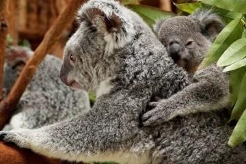 Já conhece a nova cria de koala do Jardim Zoológico?