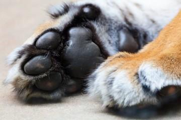 ZOO desvenda porque têm os felinos almofadas nas patas e os elefantes se besuntam de lama