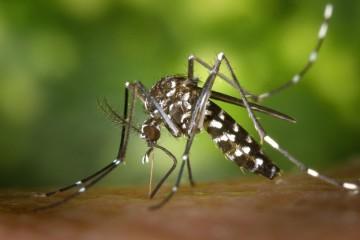 Cientistas estudam picadas de mosquito para desenvolverem injeções sem dor