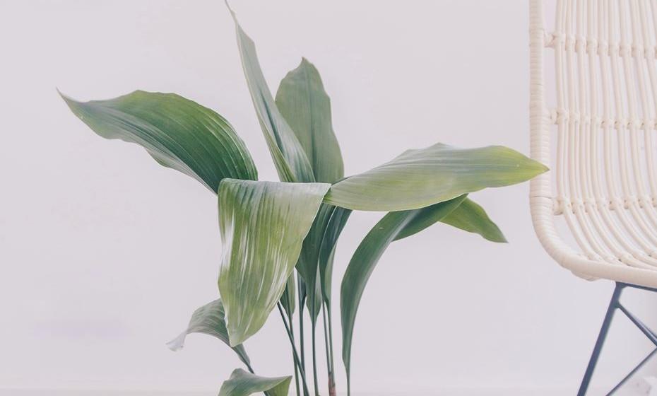 Indochine – esta planta vem de Indochina e vive perfeitamente em ambientes fechados e ao ar livre. Pode atingir até 80cm de altura e vive especialmente bem com calor e sombra.