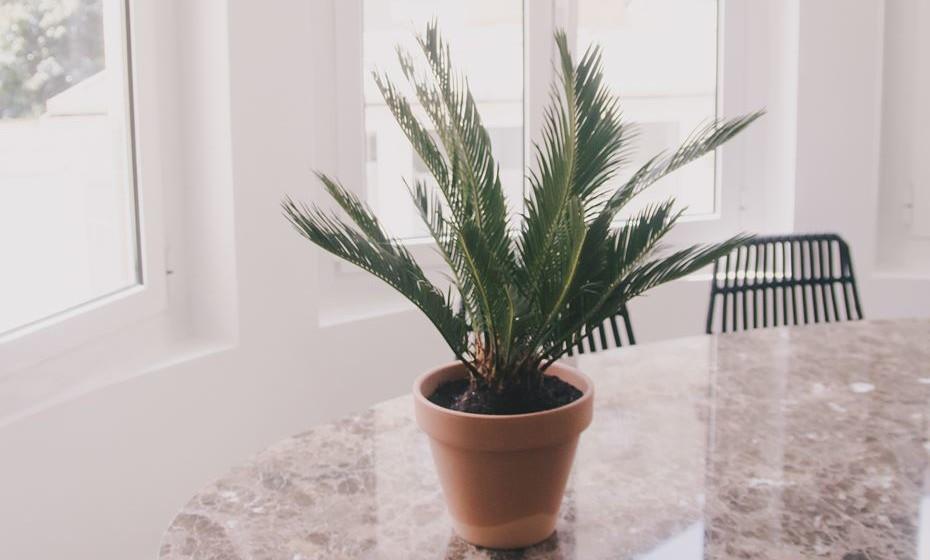 King Sago – originária do Japão, esta planta traz a beleza das palmeiras para dentro de casa num pequeno vaso. É aconselhável para pessoas que não tenham animais, nem crianças, para evitar que seja comida.
