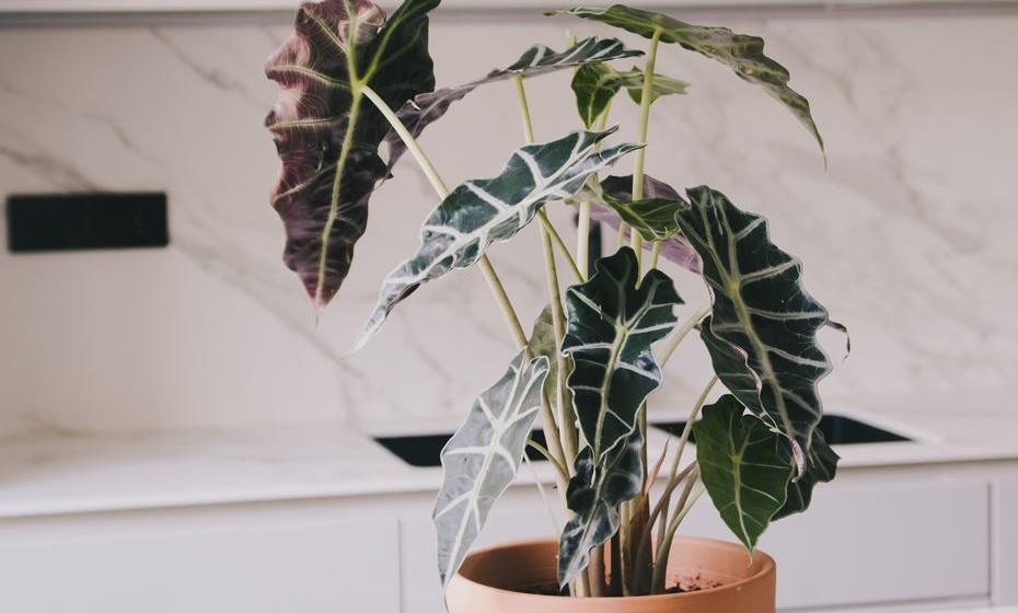 Korubo - é uma das plantas de interior mais admiráveis que existem. O nome deve-se a uma tribo indígena da Amazónia brasileira, de onde é originária. É aconselhável colocar esta planta fora das correntes de ar, com luz abundante.