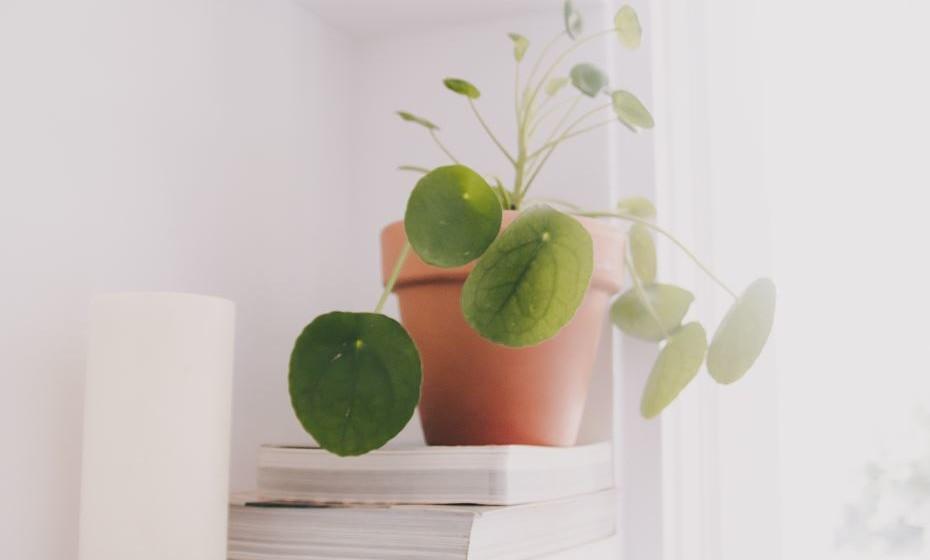 Miao-Yao – originalmente da região chinesa de Yunnanuma, é uma das plantas mais usadas atualmente em design de interiores. Conhecida como a planta chinesa do dinheiro, é ideal para dar um toque único a qualquer espaço da casa.