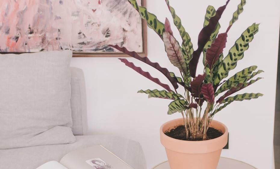 Paraíba – o nome inspira-se no seu local de origem, no Brasil, e é uma planta perfeita para qualquer interior. Crescerá especialmente bem em ambientes húmidos com muita luz, mas sem exposição direta ao sol.