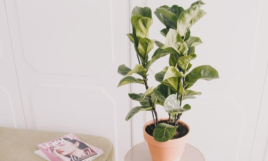 Safari – é uma das plantas de interior mais utilizadas atualmente. As suas folhas são únicas, derivadas da sua origem africana. Requer um bom espaço para o seu desenvolvimento, numa área bem iluminada, sem correntes de ar. Não requer muita água, basta humedecer o substrato (sem inundar). Fonte: Colvin