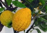 Zamboa, o limão gigante que cura quase tudo