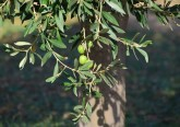Folhas de oliveira: portugueses descobrem método de extração sustentável do ácido oleanólico