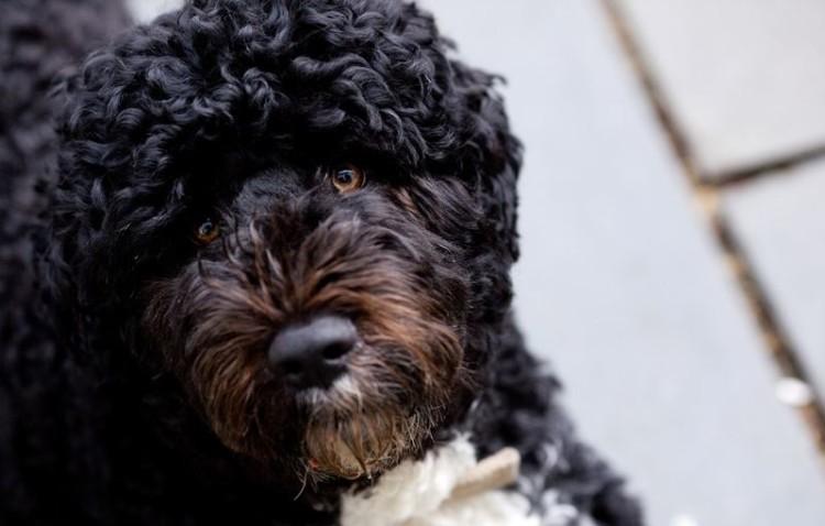 Bo, o cão de água português da família Obama