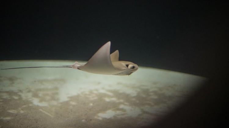A primeira raia bebé a nascer no Sea Life Porto é apresentada e precisa de um nome