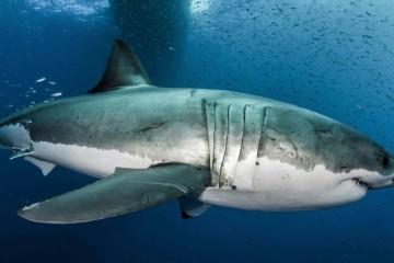 Decifrado genoma do grande tubarão branco e contou com participação portuguesa