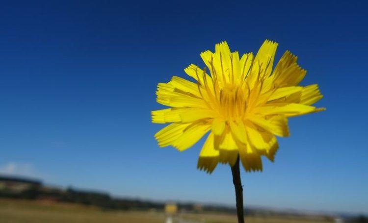 Pilosela, a planta que ajuda a combater a retenção de líquidos