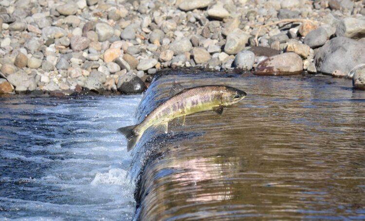 Populações migratórios de água doce caíram 76% em quatro décadas
