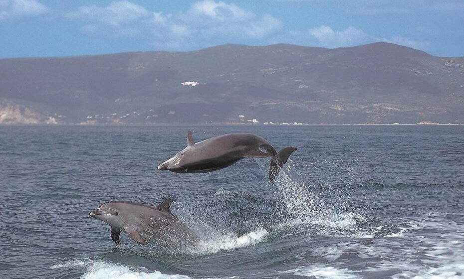Golfinhos roazes