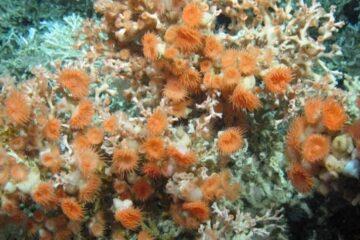 Descobertas 12 criaturas de águas profundas no Oceano Atlântico