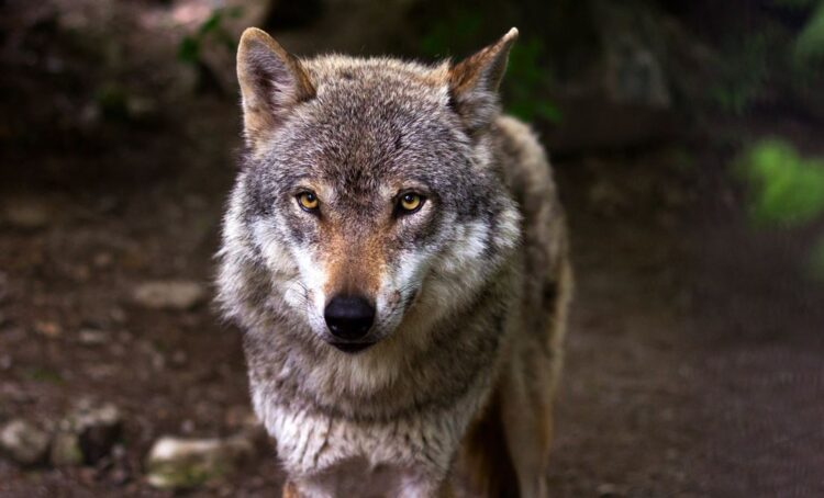 Organizações portuguesas pedem ao governo espanhol que proteja lobo ibérico