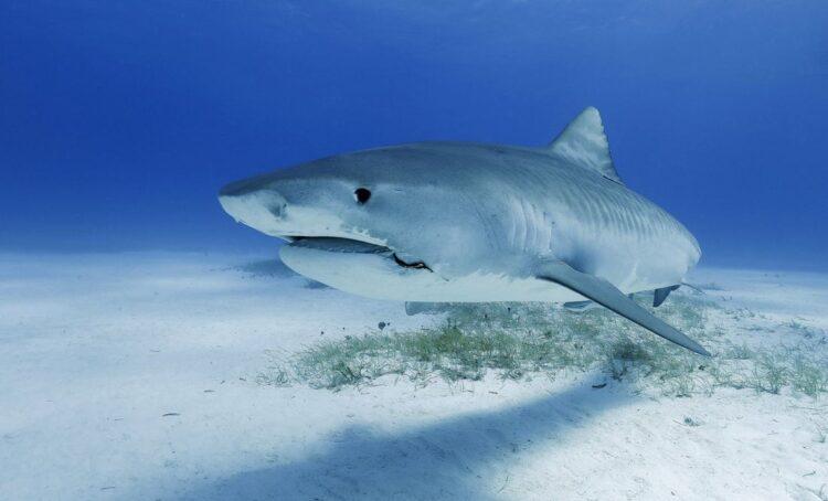 Iniciativa europeia quer proibir comércio de barbatanas de tubarão