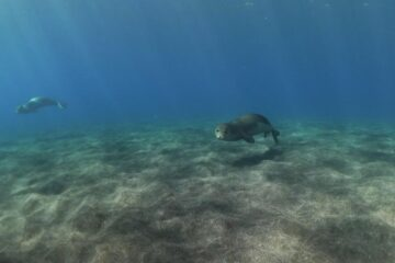 Lobo marinho da Madeira