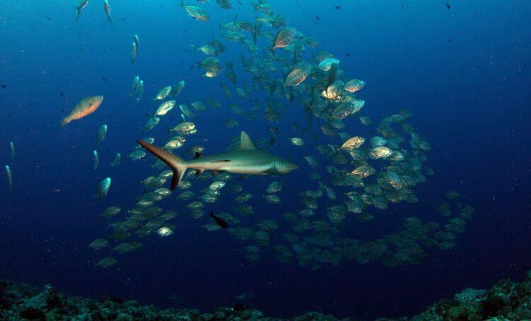 Mais de 40 cientistas de tubarões da UE juntam-se para salvar o anequim