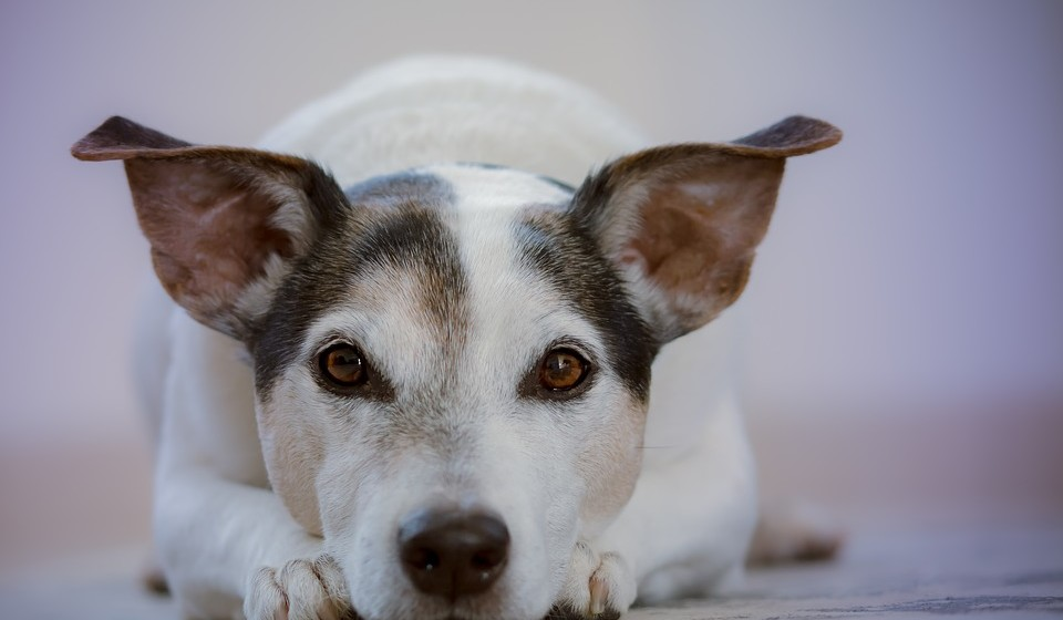 Um estudo da Universidade Goldsmiths mostrou que os cães aproximam-se mais facilmente de pessoas tristes ou que estão a passar por algum tipo de sofrimento. Isto porque os cães são muito sensíveis e criam empatia, aproximando-se para aliviar a dor.