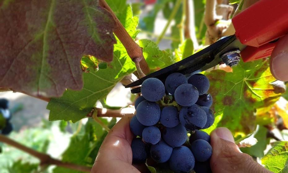 Qual a forma correta de cortar as uvas? A vindima pode ser manual ou mecânica. Na manual, o vindimador corta os cachos. Na mecânica, o mecanismo de recolha provoca uma vibração na ramagem que permite que os bagos se libertem e sejam recolhidos.