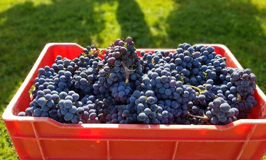 O que distingue as uvas que fazem vinho tinto e vinho branco e porquê da diferença da cor? As substâncias de cor das uvas encontram-se primordialmente nas películas. Nas uvas tintas a cor é avermelhada e azulada e nas brancas amarelada e esverdeada. A polpa, tanto das uvas brancas como das tintas, é em 99% das castas incolor. Daqui resulta que os vinhos tintos terão de ser produzidos com uvas tintas e que os vinhos brancos poderão ser produzidos seja com uvas brancas como com uvas tintas, neste caso desde que previamente sejam separadas as películas.