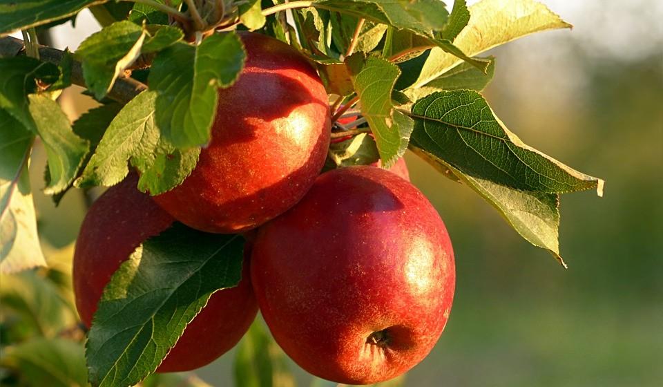 Maças – estas não podem faltar em listas de alimentos saudáveis. Uma maçã por dia pode manter as rugas afastadas. Além da vitamina C, as maçãs são uma boa fonte de quercetina, que é um potente antioxidante. A estrutura molecular da quercetina é extremamente adequada para destruir os radicais livres, o que torna este nutriente um excelente antirrugas. Ao comprar maçãs, escolha frutas cultivadas em modo biológico, se possível. Juntamente com os pêssegos, as maçãs lideram a lista de frutos que contêm os mais altos níveis de pesticidas e outros produtos químicos.