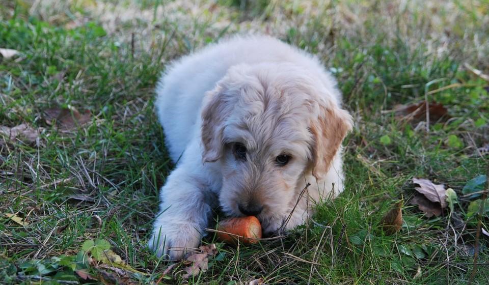 Cenouras: pode comer. Cruas ou cozidas são seguras para o seu cão. As cenouras são baixas em calorias e uma boa fonte de vitaminas, minerais e fibras. Isso faz com que sejam um alimento muito saudável para o seu cão como lanche. Mas corte-as em pedaços pequenos para evitar que se engasgue.