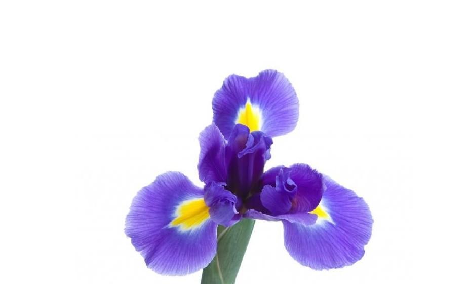 2008: A cor 18-3943 Iris azul éum azul-roxo lindamente equilibradoo que combina aspetos estáveis e calmantes do azul com as qualidades místicas e espirituais do roxo. Esta cor satisfaz a necessidade de tranquilizar um mundo completo, ao mesmo tempo que adiciona uma sugestão de mistério e emoção.