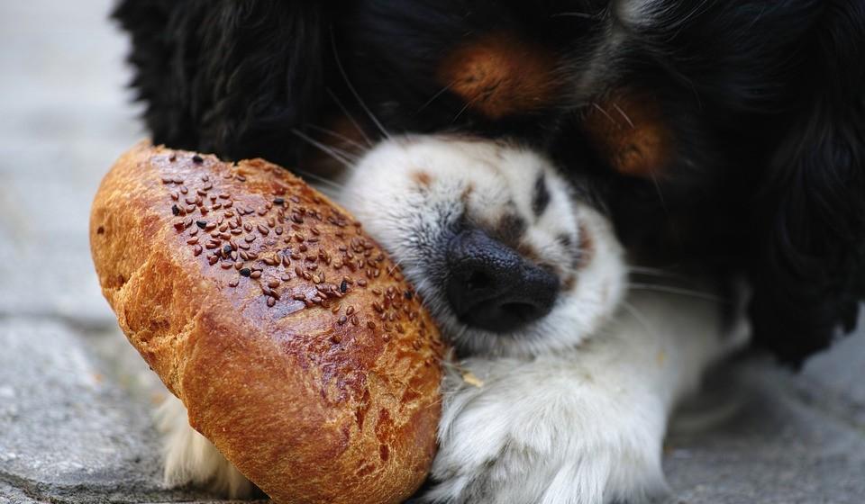 Pão: pode comer. O pão branco ou integral é seguro para a maioria dos cães comerem como snack ocasional. Mas certifique-se de que não contém ingredientes extras, como passas, que podem ser potencialmente prejudiciais.