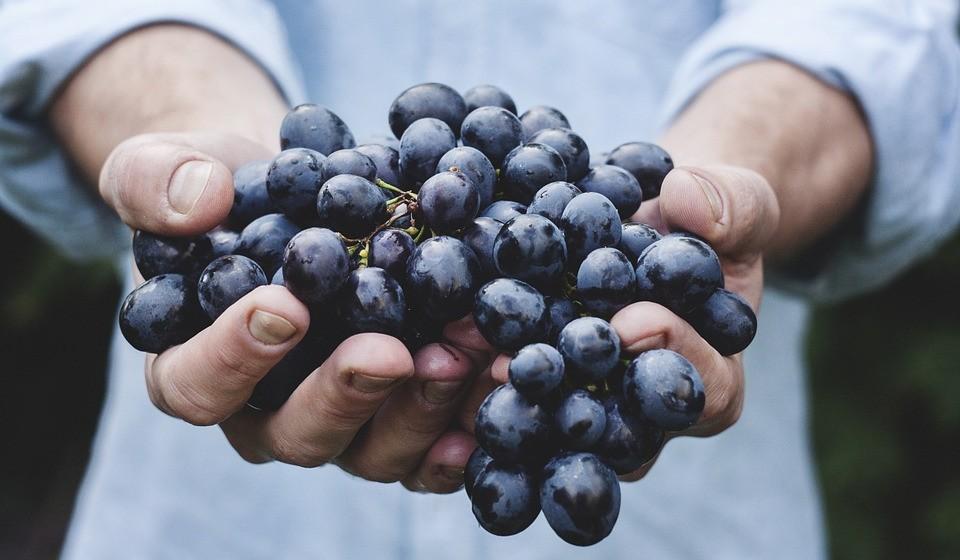 Uvas e passas: não pode comer. Estas contêm compostos tóxicos que são prejudiciais aos cães e com potencial de levar a uma insuficiência renal rápida e até morte. Mesmo pequenas quantidades de uvas e passas podem deixar o seu cão doente.
