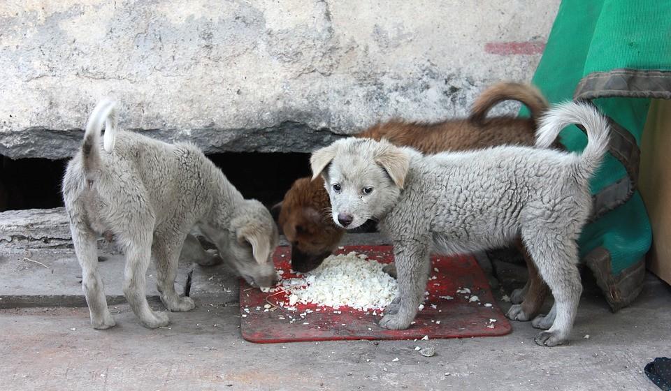 Arroz: pode comer. Arroz é muito fácil para os cães digerir e pode ajudar a aliviar o estômago. Pode dar só arroz ou combinar com um pouco de frango ou peru para obter proteína extra.