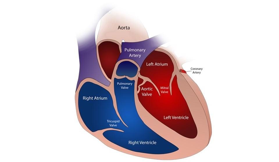 Para que servem as válvulas cardíacas? O coração é formador por 4 cavidades: aurícula esquerda e direita e ventrículo esquerdo e direito. Entre casa aurícula e ventrículo existe uma válvula cardíaca assim como à saída de cada ventrículo. As 4 válvulas cardíacas fazem com que o sangue dentro do coração flua em sentido único, impedindo o seu refluxo. Quando isso não acontece podem surgir doenças como a estenose aórtica.
