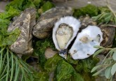 É um produto gourmet apreciado sobretudo ao natural com um pouco de sumo de limão. As ostras têm fama de raras e afrodisíacas, mas são ainda mais ricas do que isso. Célia Rodrigues dedica-se à produção de ostras há cerca de dez anos e é tida como uma especialista nestes bivalves. Uma espécie de enciclopédia no que a este produto diz respeito. E nós fomos conhecer a sua produção e saber um pouco mais sobre este regresso 'das profundezas' das ostras de Setúbal.