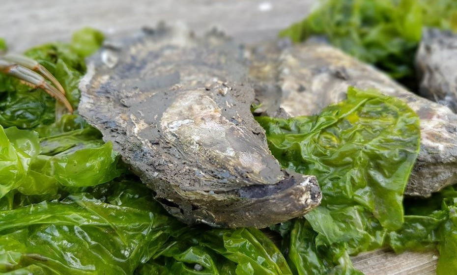 As ostras têm folhos que indicam a idade, tal como as árvores.