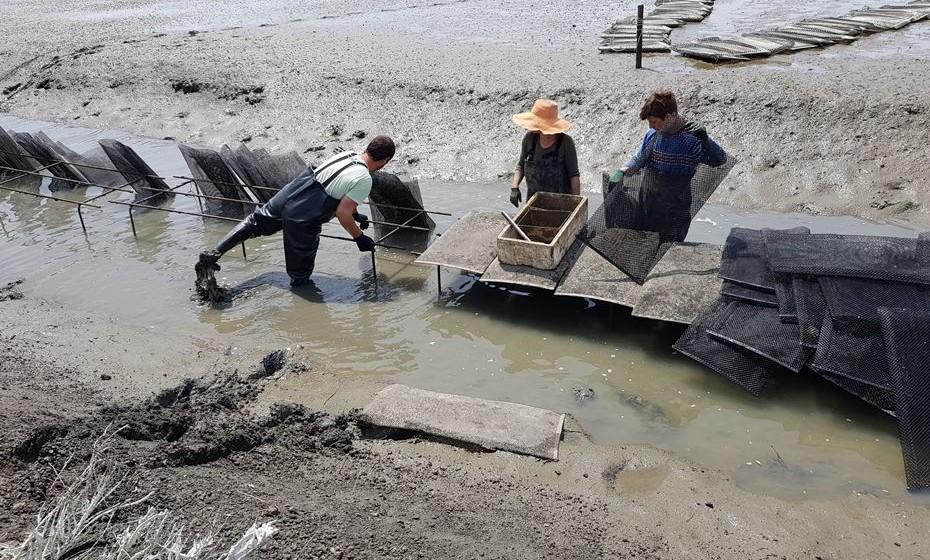 Funcionários a separar ostras por sacos. Elas são divididas à medida que crescem.