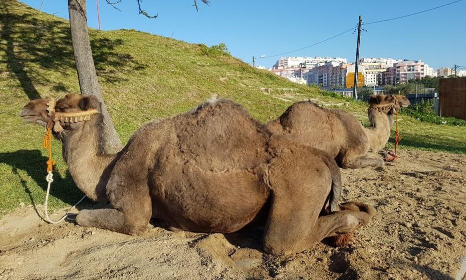 Os camelos são presença constante nesta feira.