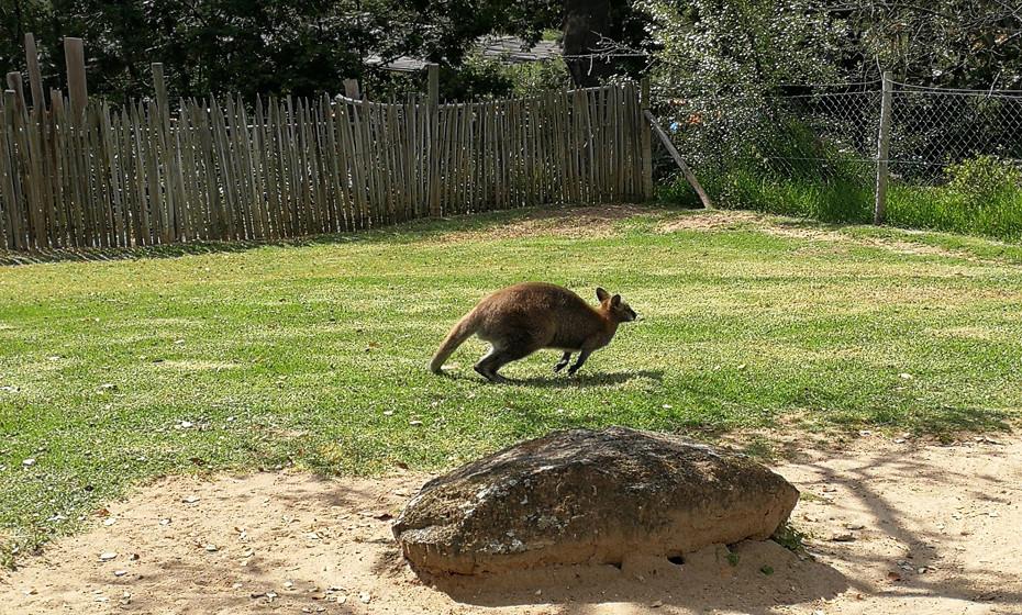 Os cangurus, animais dominantes da Austrália, fazem as delícias dos visitantes com os seus saltos e aspeto amistoso